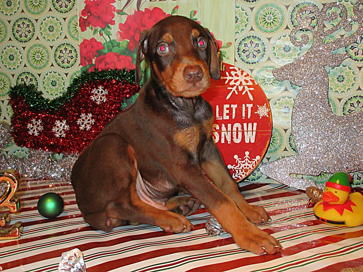 Kroger London Ohio >> Ohio Doberman Pinscher Puppies for Sale   Henson's Doberman Pinscher Puppies
