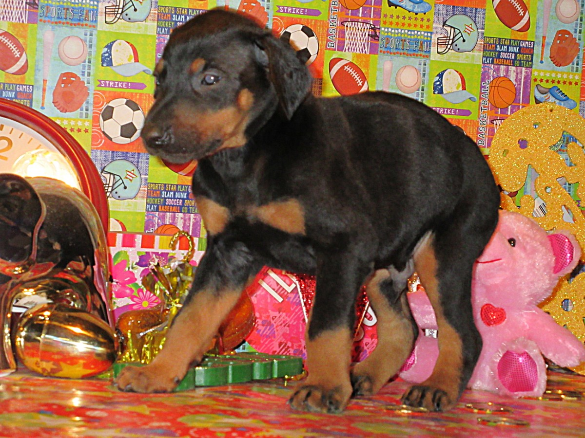 Doberman Pinscher Breeder Amp Puppies For Sale In Ohio