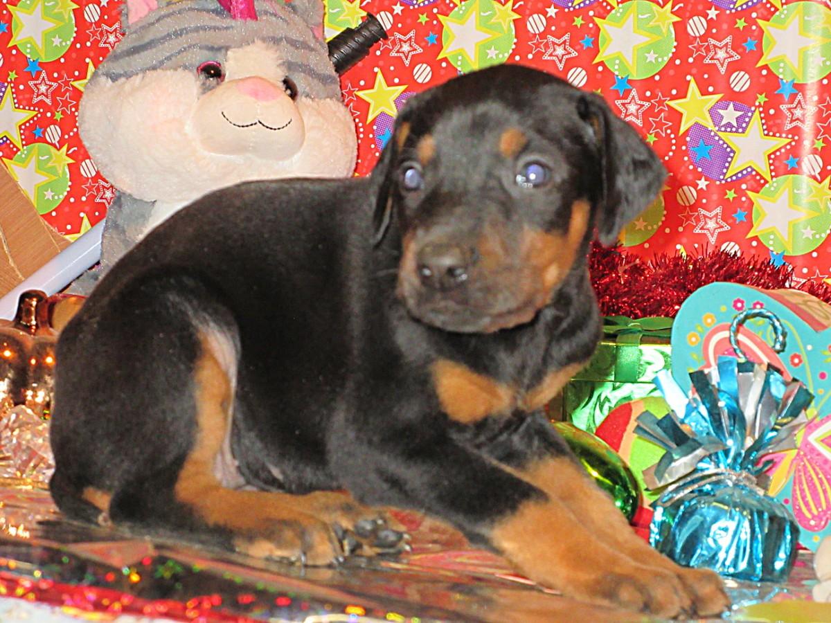 Doberman Pinscher Breeder Amp Puppies For Sale In Ohio Henson S Doberman Pinscher Puppies